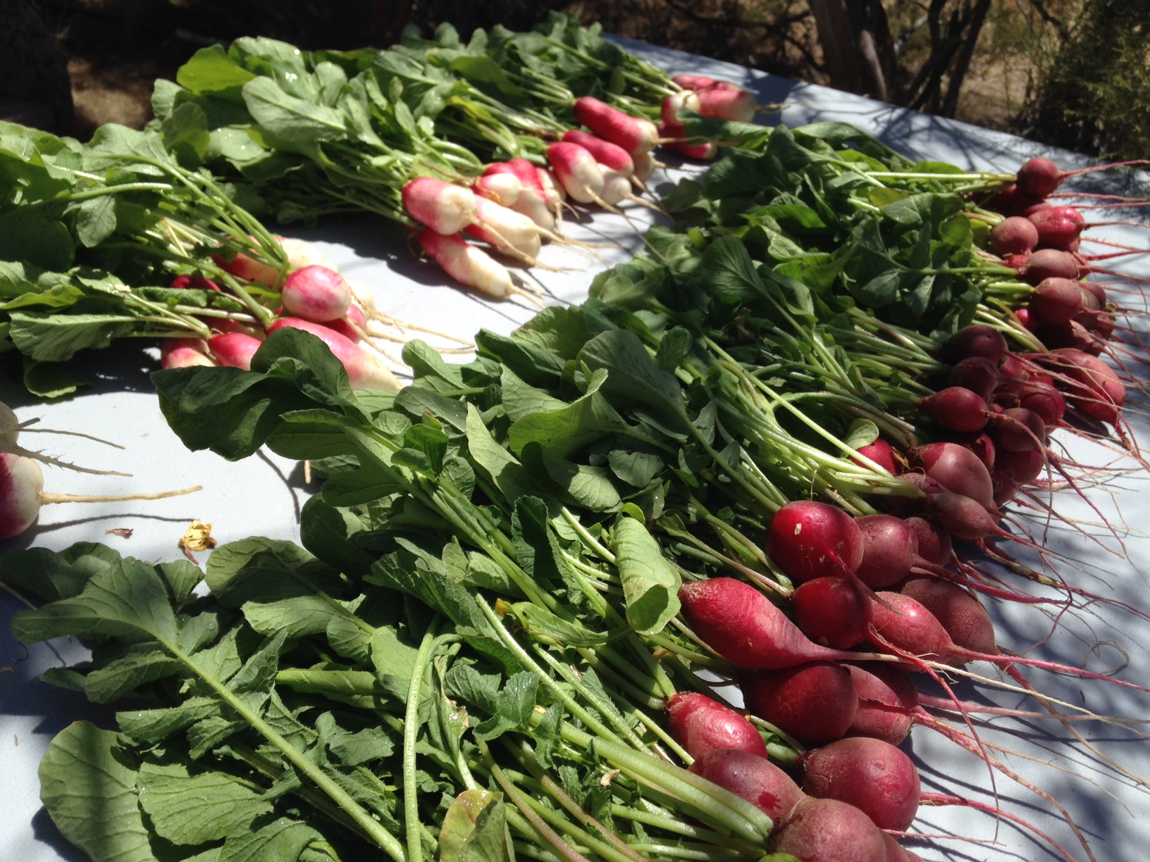 French Breakfast and Cherry Belle Radishes drying on the washing table.