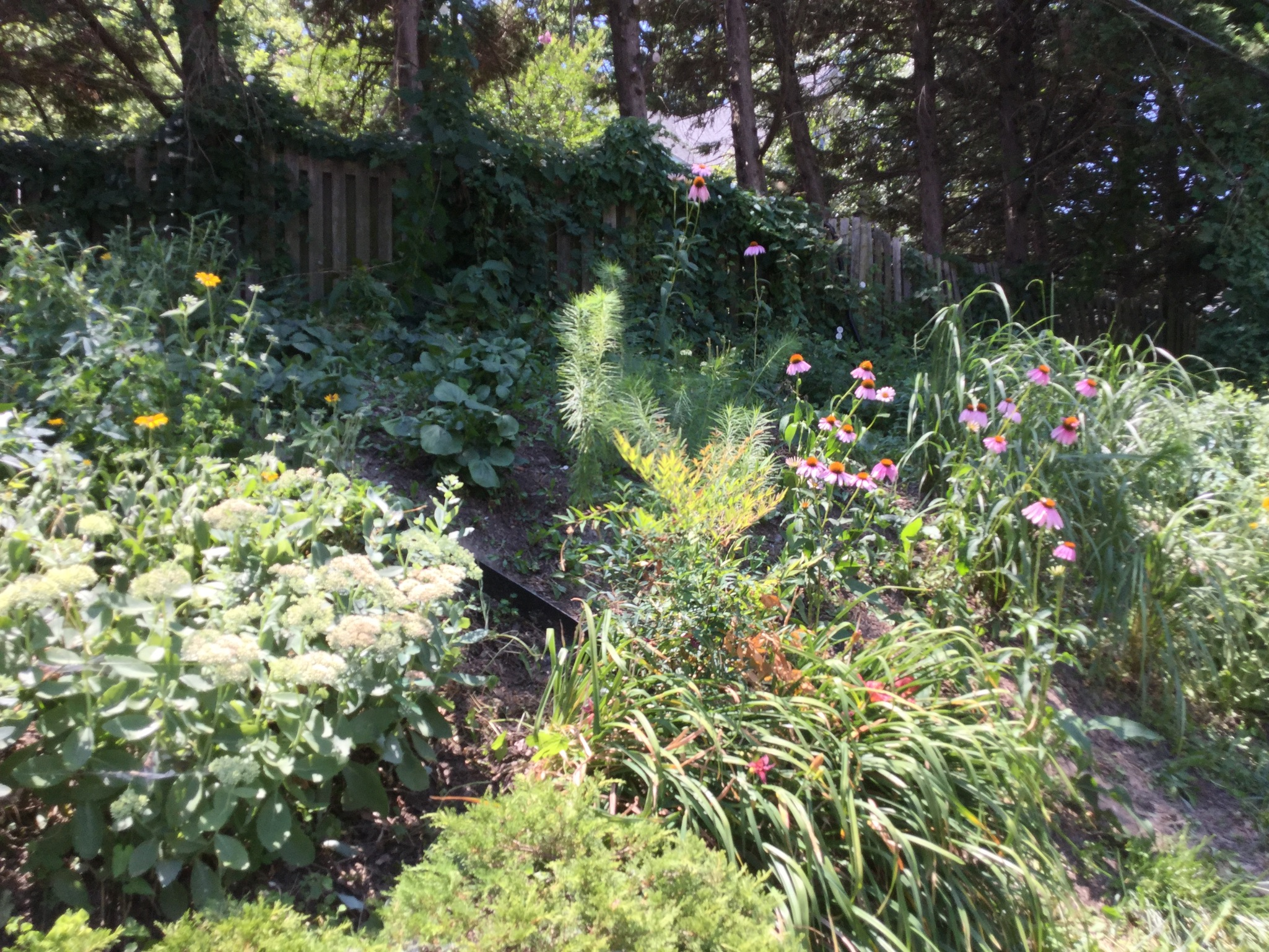 July 14, 2018 - the coneflowers, Black-eyed Susans, and mountain mint are blooming!