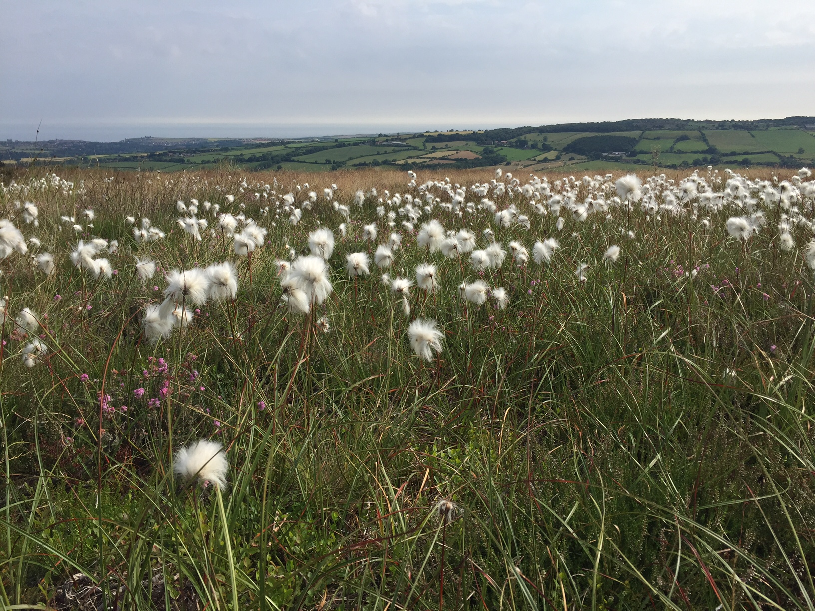 Wild cotton plants growing on the moors. Pastures in the background.