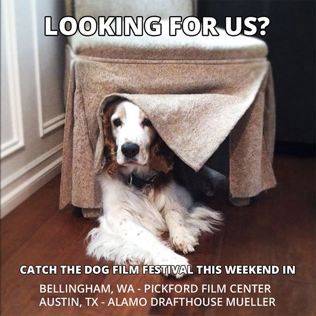No, we're not hiding. You can catch the Dog Film Festival this Saturday at the Pickford Film Center in Bellingham, WA and on Sunday at the Alamo Drafthouse Mueller in Austin, TX. Click the link in bio for details and tix.  #DogFilmFestival #dogsofwashington #dogsofbellingham #bellingham #bellinghamwa #bellinghamevents #bellinghambark #dogsofaustin #dogsofaustintx #dogsoftx #austin #austintx #austinevents