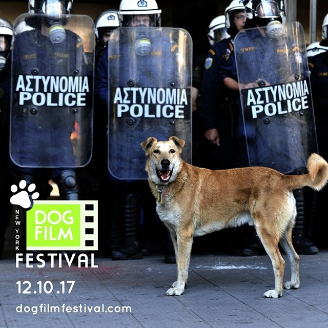 Meet Loukanikos who was at the front lines of the protest marches and became a heroic symbol of protest in Athens, Greece in Mary Zournazi's documentary, DOGS OF DEMOCRACY. See it as part of The Festival on December 10 in NYC. Info & tix at www.dogfilmfestival.com  #dogfilmfestival #dogfilmfestivalny #dogsofnewyork #dogsofnewyorkcity #newyorkdogs #newyorkdog #nycevents #newyorkcitylife #newyorkfilm