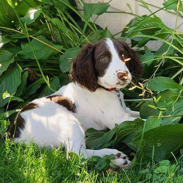 We'd like to introduce you to Easton, our newest office pup! He is an adorable Springer Spaniel who loves fetching his lacrosse ball, playing with his best friend Kaeda, taking walks around the pond and running through the garden! Can't wait to watch this pup grow with Twelve! 🐶 . . . . . #officegoals #wellbeing #worklifebalance #dogs #officedog #dogsofmsp #mnproud #consulting #twincities #minneapolis #chicago #fridayfeeling