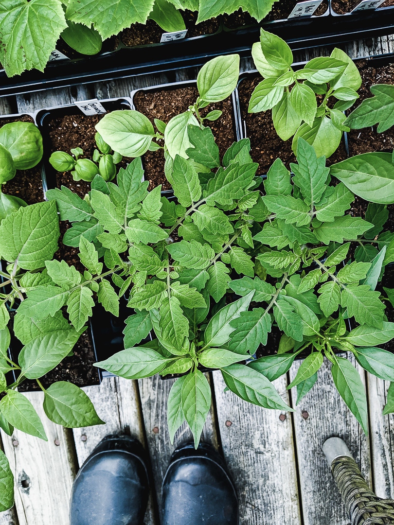 Flat of tomato and pepper seedlings with rubber boots