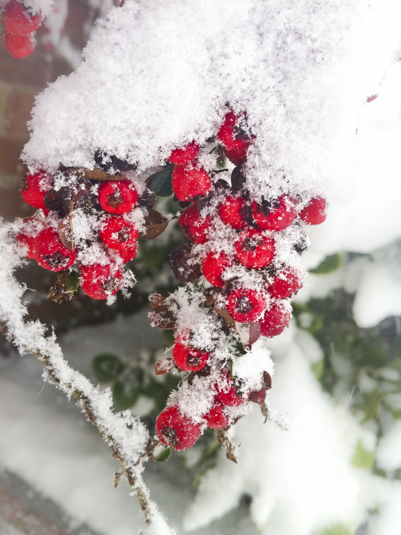 Winter Christmas Xmas Red Berries Snow Cold