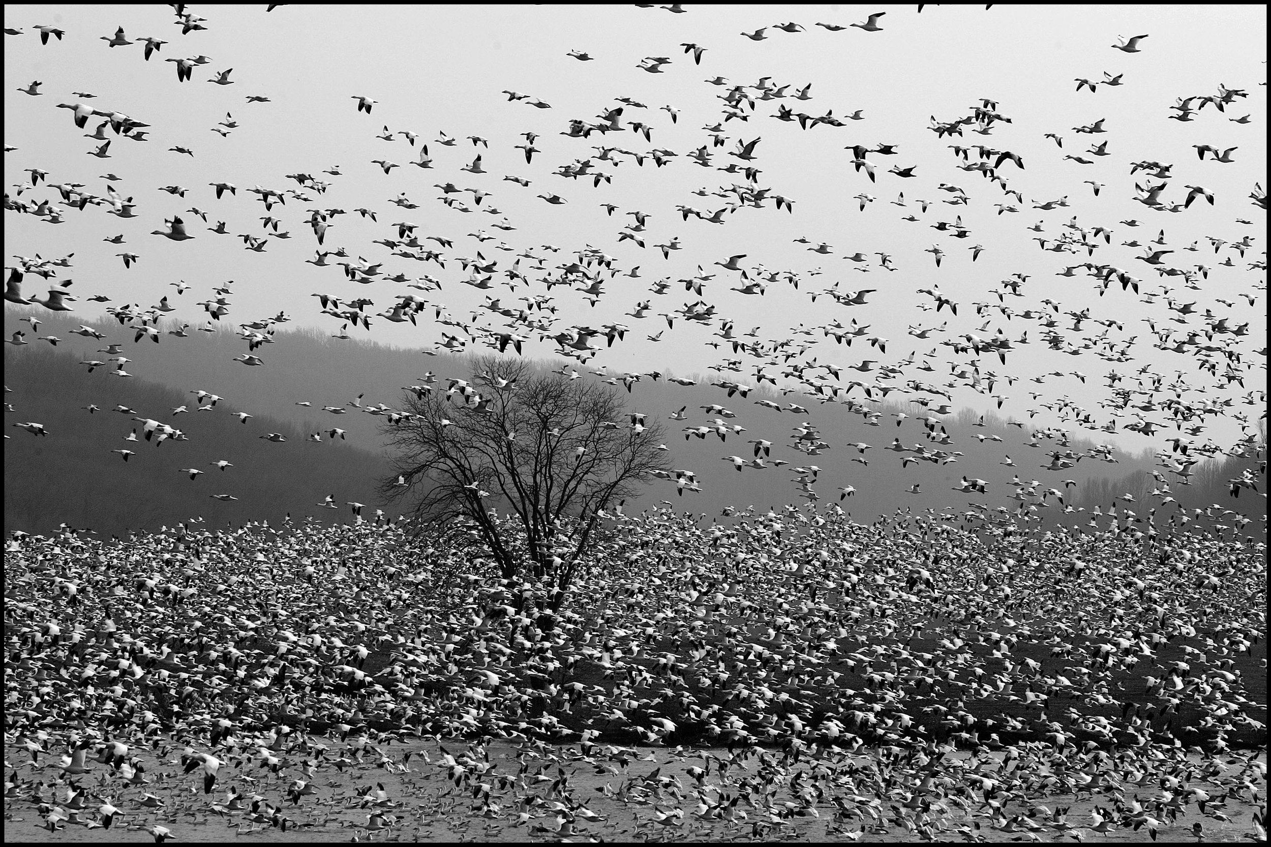 Migrating snow geese - Middle Creek Wildlife Management Area in Kleinfeltersville, PA.