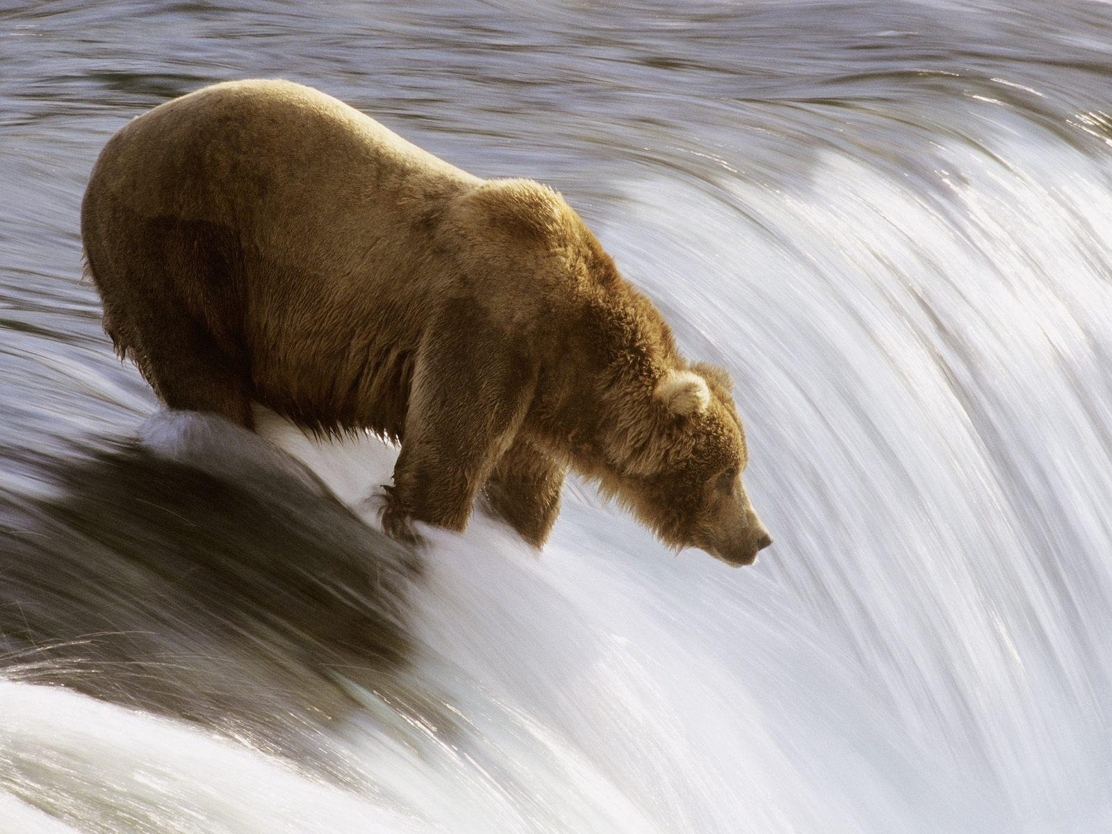 Brown bears' hunting techniques have been studied extensively. Handed down from their mother, brown bears adapt their fishing methods depending on yield ratios and salmon abundance in exacting fashion. Patience and context prove invaluable and determine the difference between those who thrive and those who are relegated to surviving off of the scraps down river.