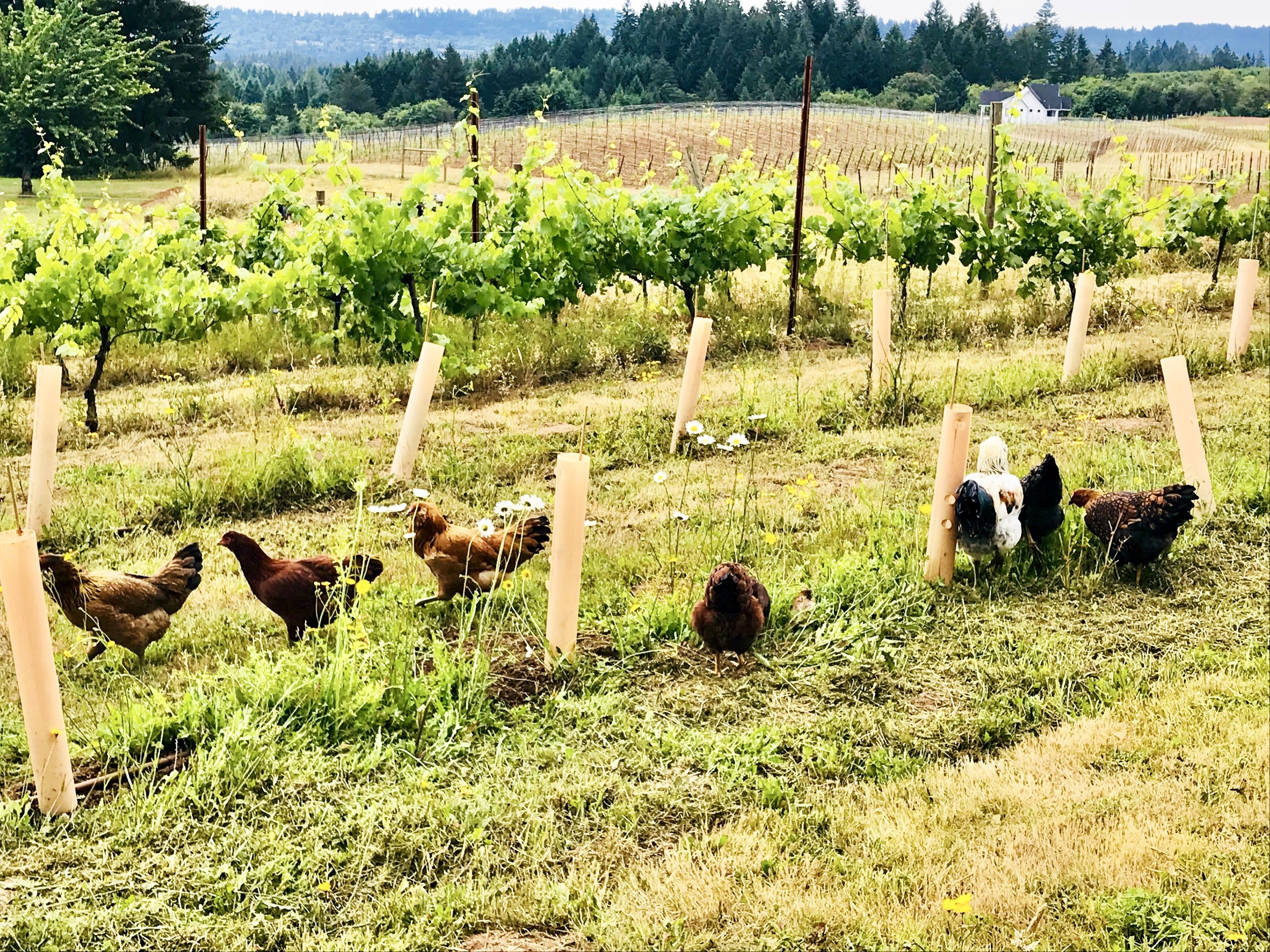 """""""Free range chickens"""" out fertilizing the grapes."""