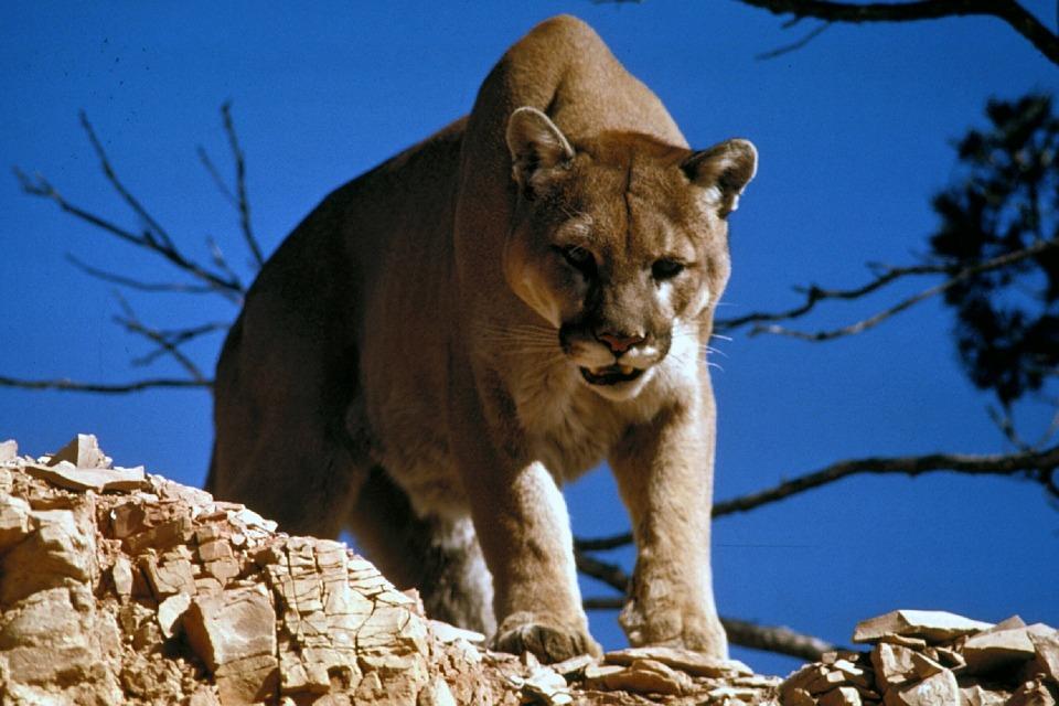 cougar-718092_960_720.jpg