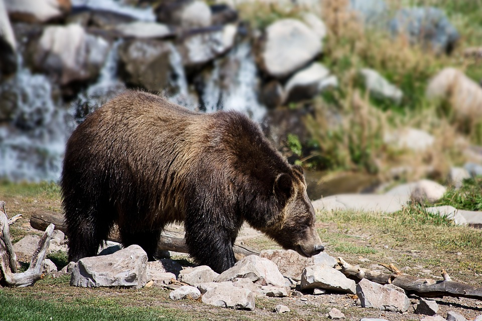 grizzly-bear-2788682_960_720.jpg
