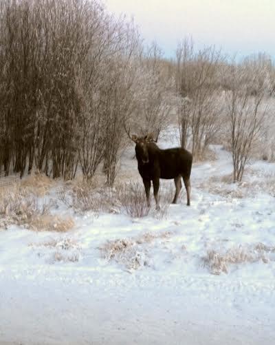 Moose Hunt — Alberta Wildland Outfitting