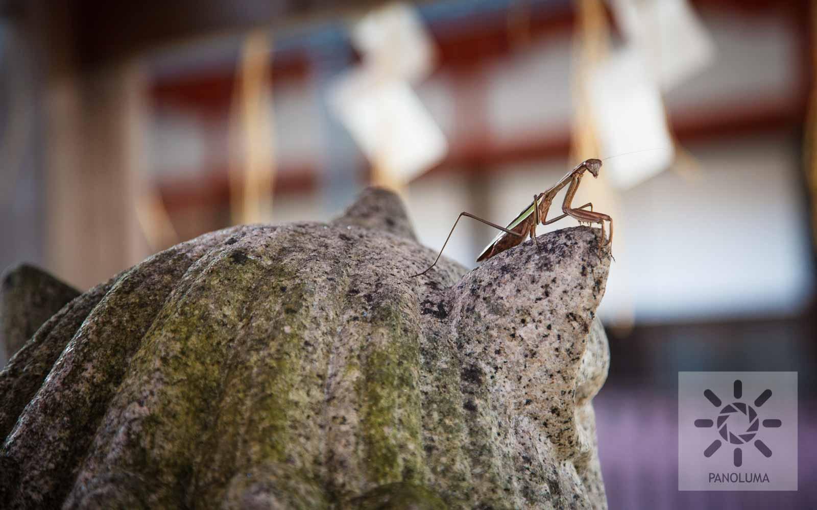 Sacred Mantis