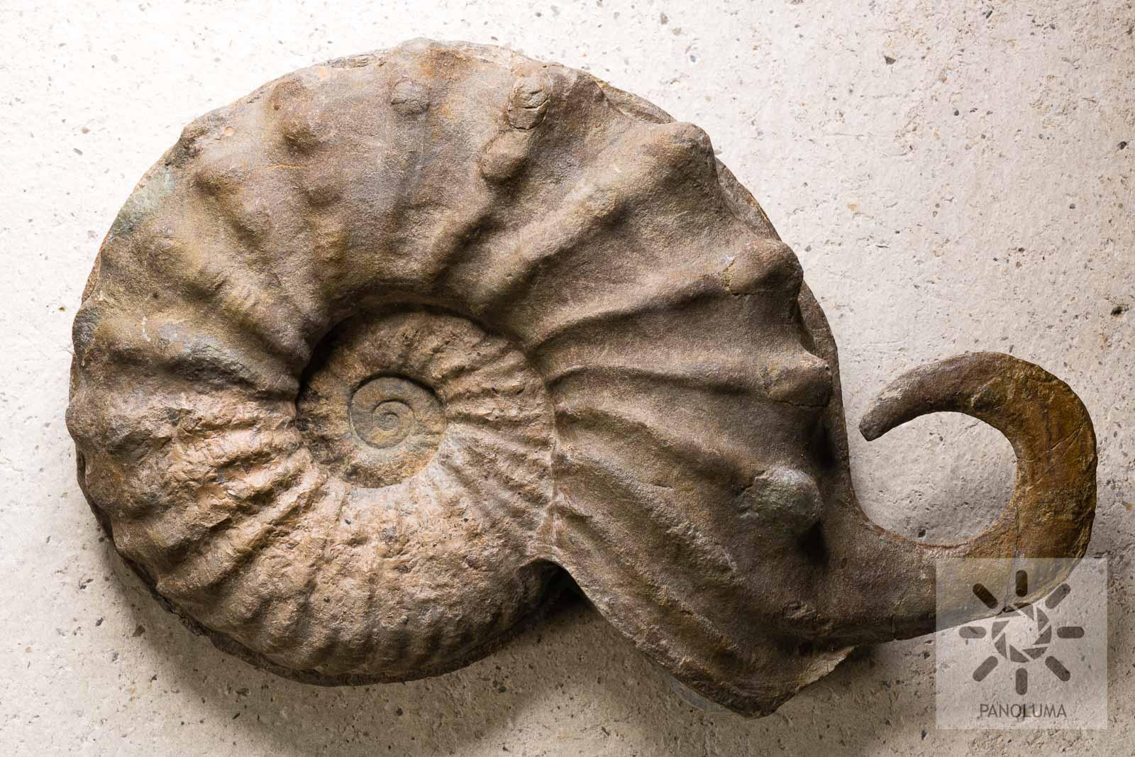20.ammonite.corne.jpg