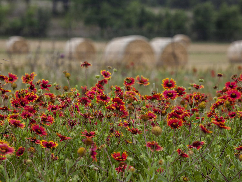 Indian blankets and hay rolls, 290 near Fredericksburg (1).jpg