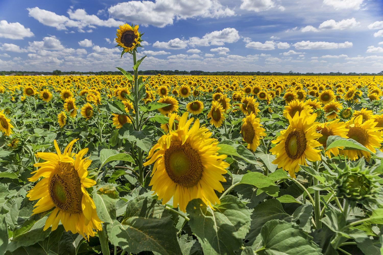 Sunflowers Wax 2015 (1).jpg