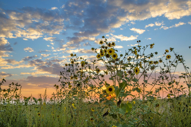 Day 9 - Twin Falls Sunflowers (1).jpg