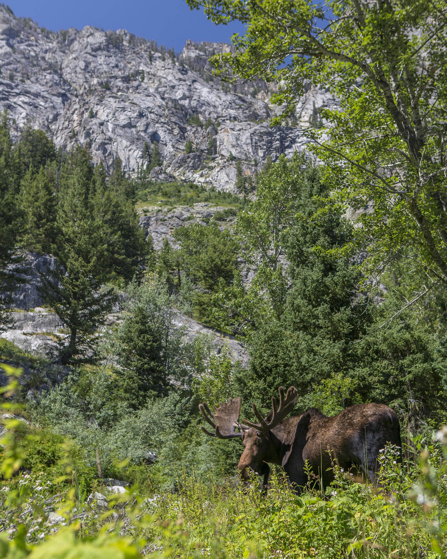 Day 14 - Jackson, Tetons Moose.jpg