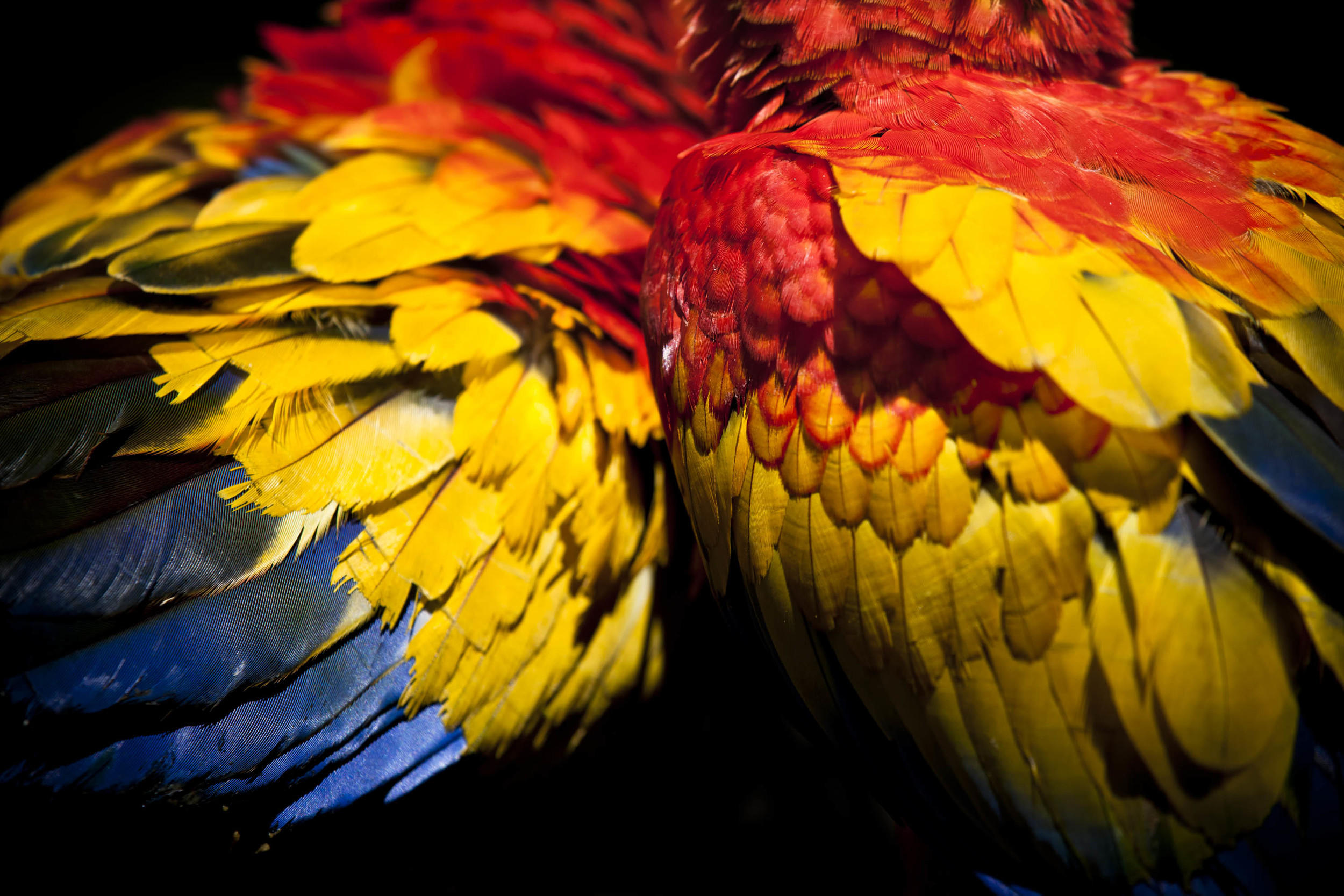 Scarlet Macaws 2.jpg