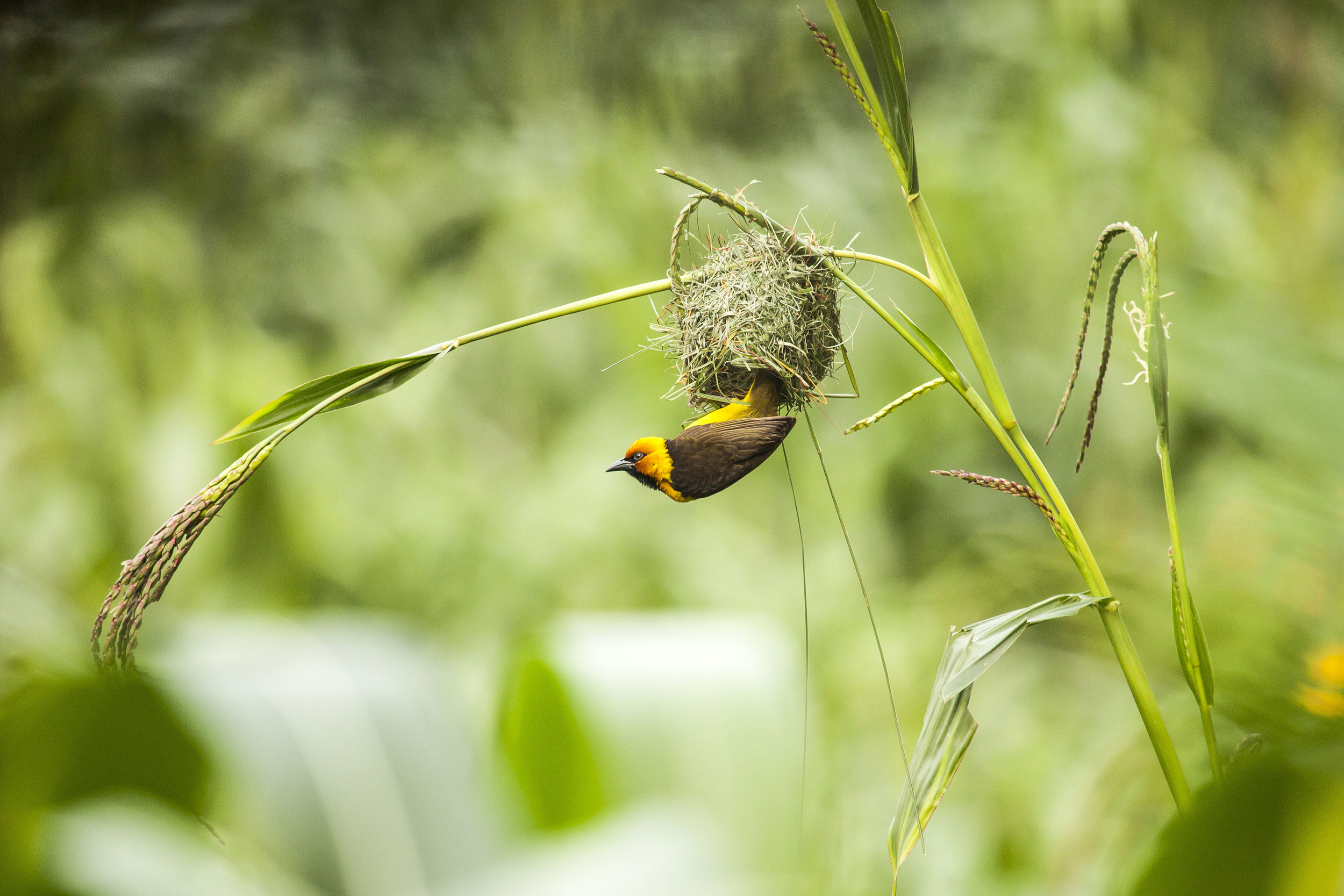 Black-necked Weaver (3).jpg