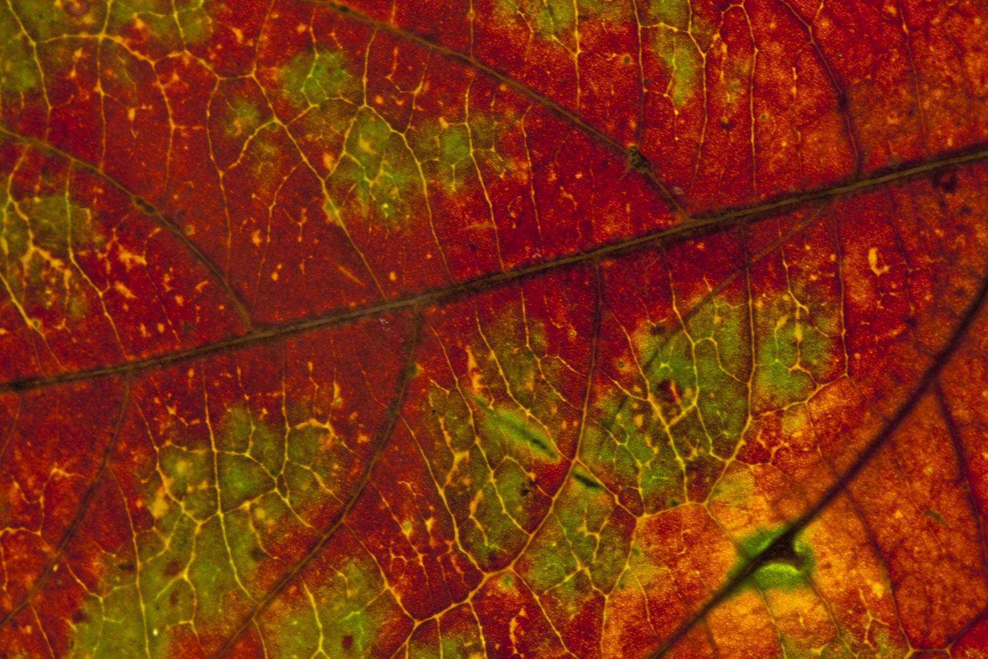 Leaf Details.jpg