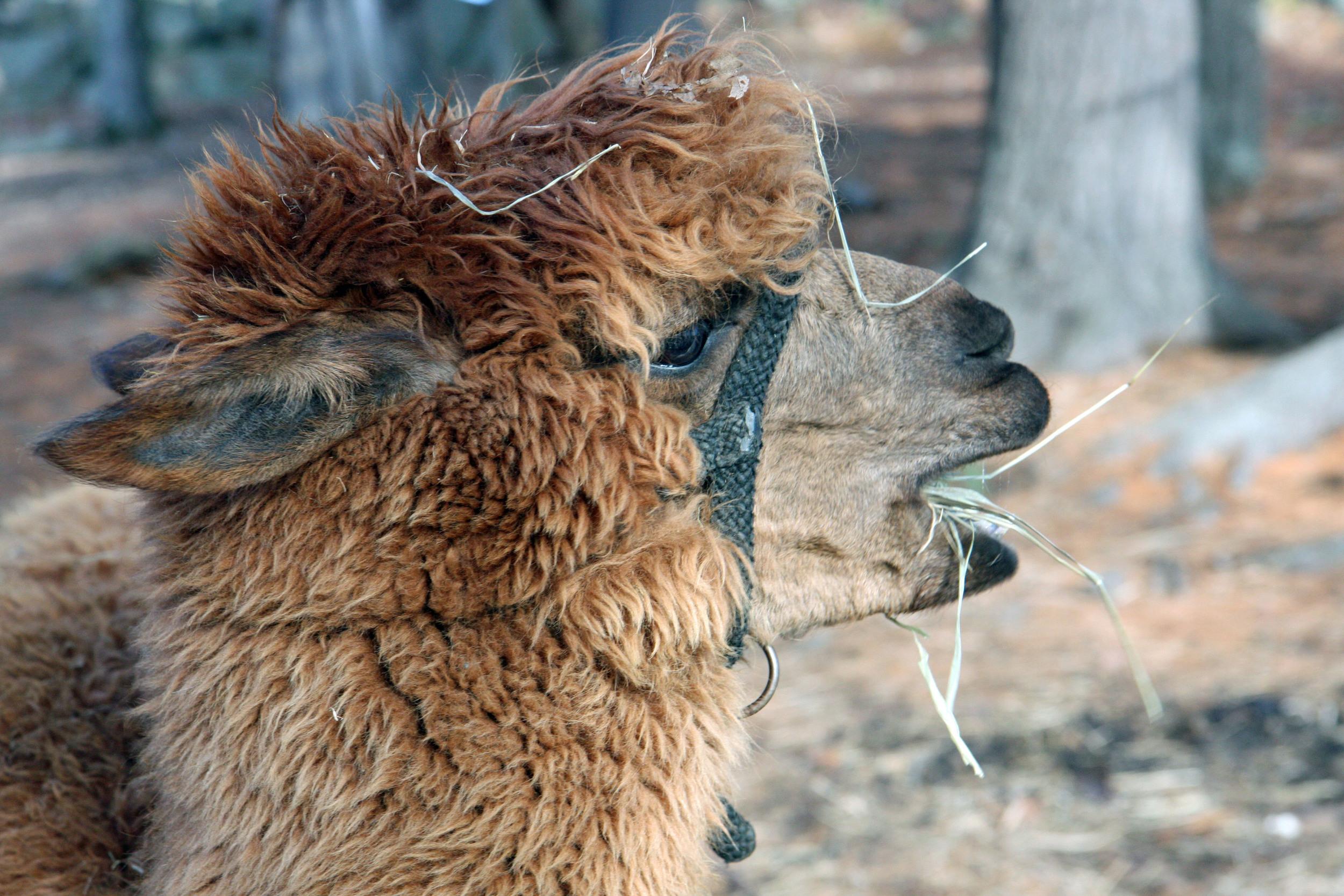 Say hi to an alpaca at the farm!
