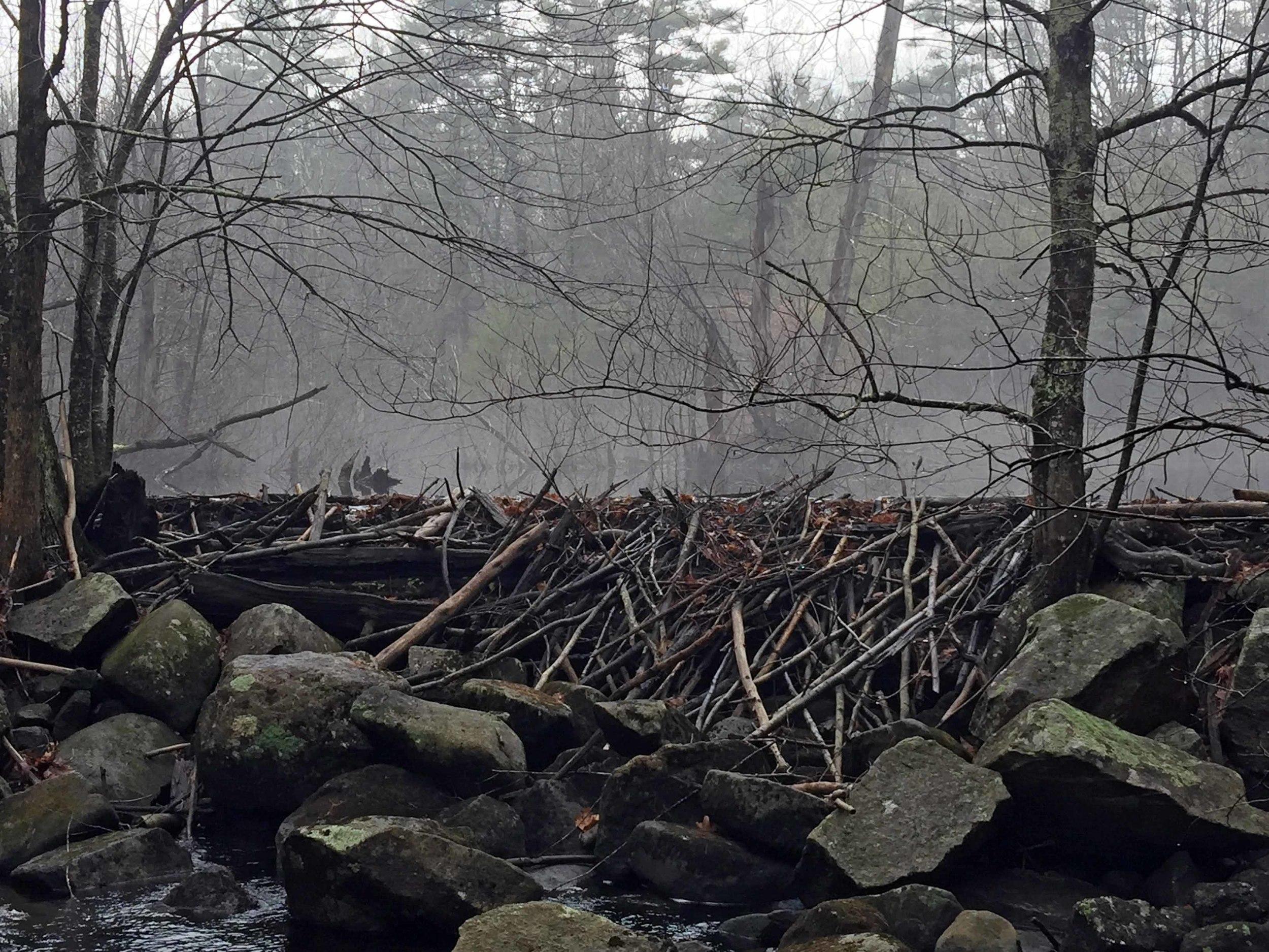 Beaver dam near Riddle Brook footbridge