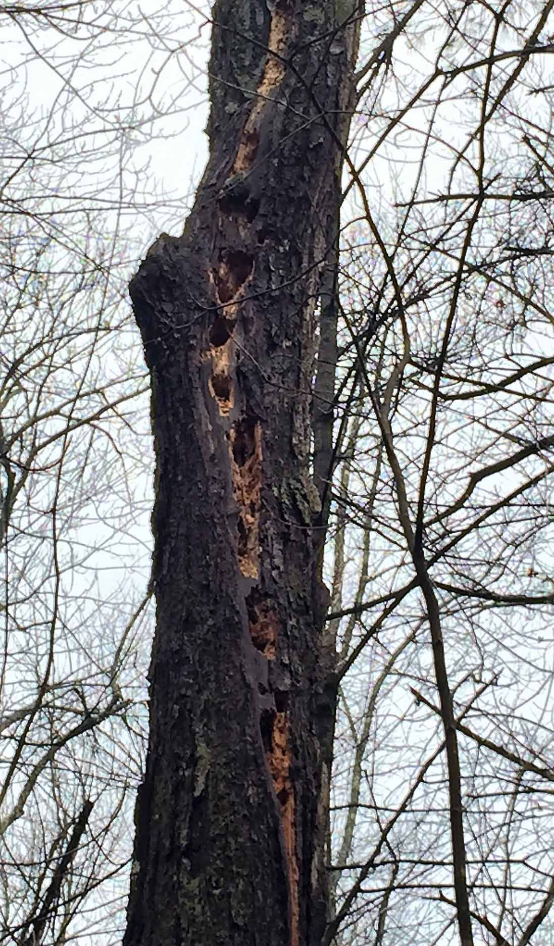 Holes made by Pileated Woodpecker
