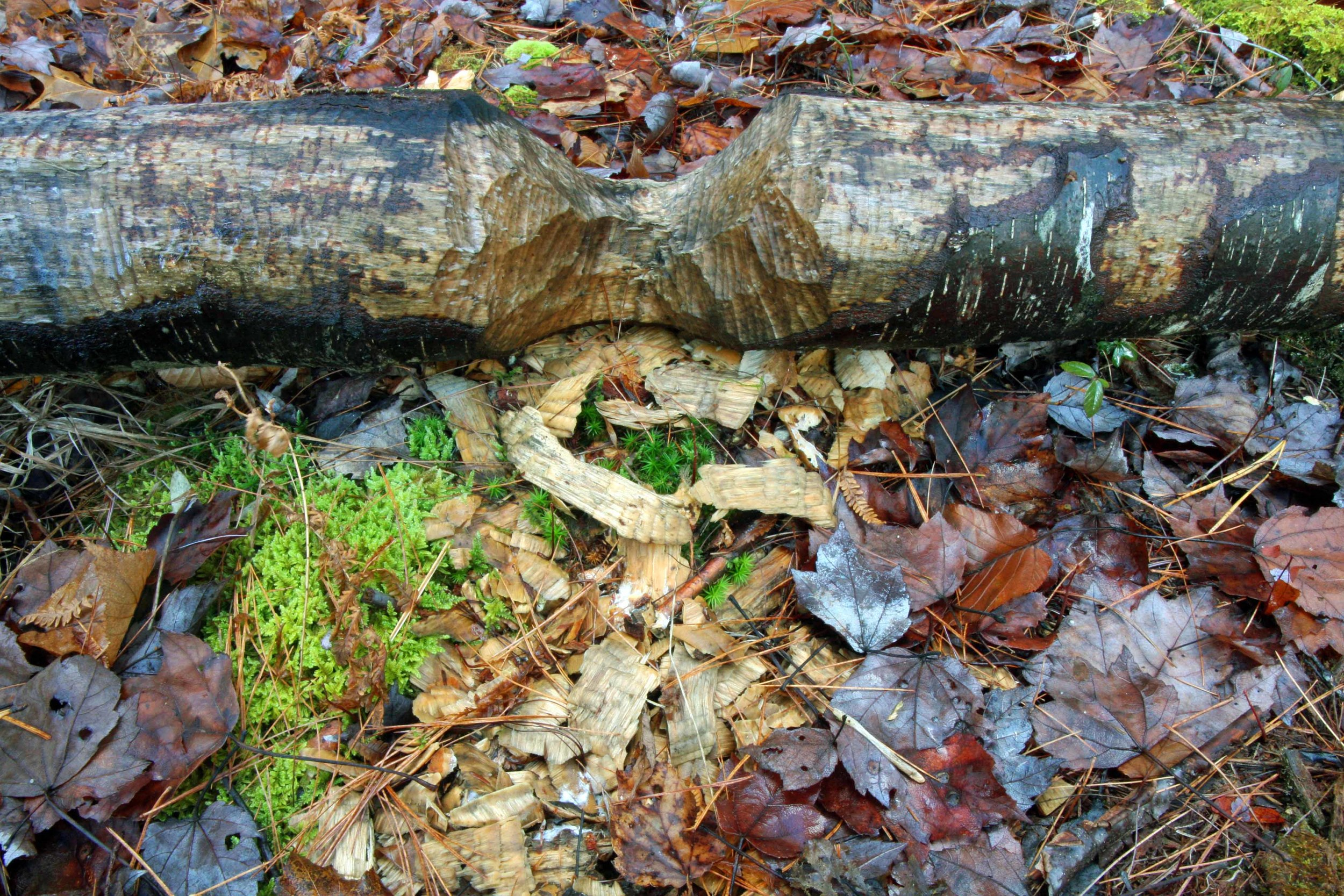 A beaver-gnawed log