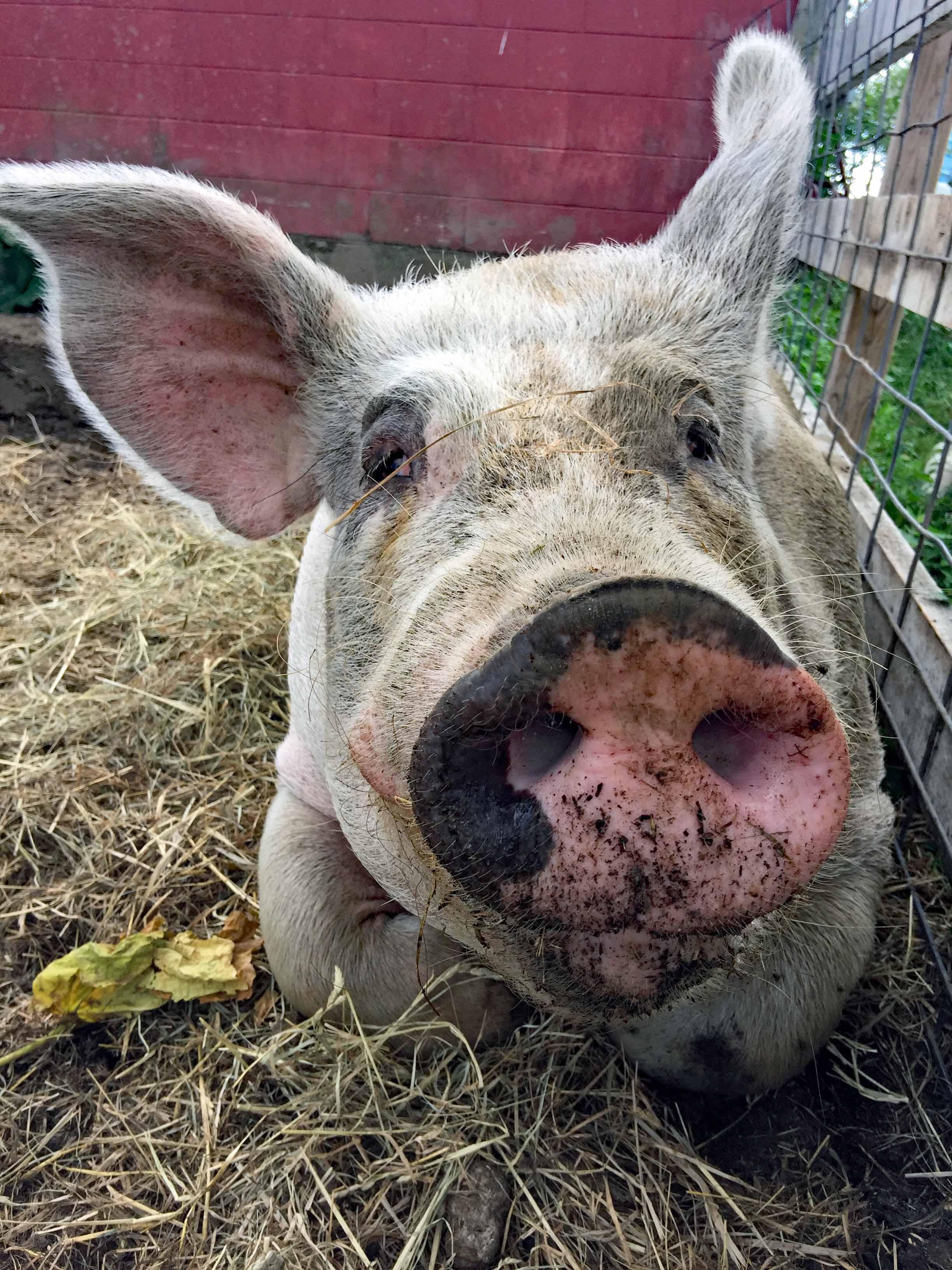 Meet China, a 700 pound pig!