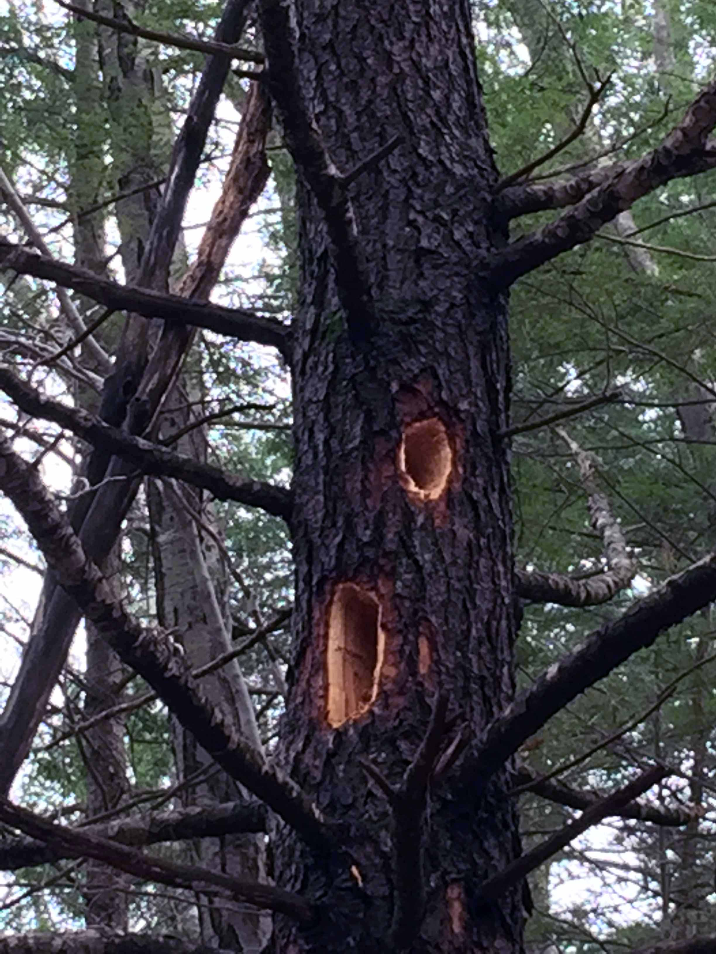 Holes bored by a Pileated Woodpecker