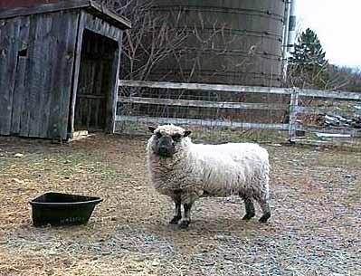 Tunis Sheep.jpg