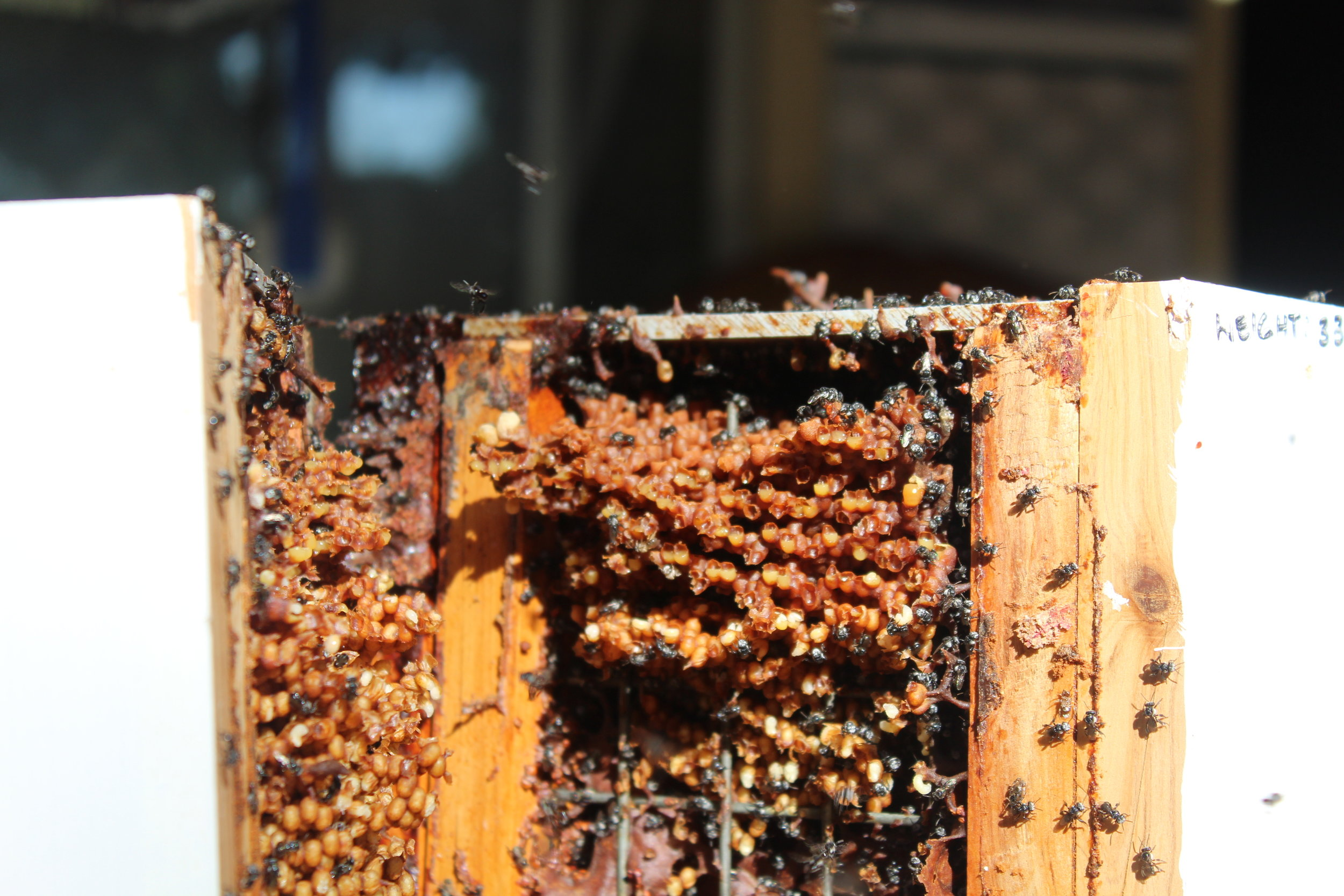 Nobby's Australian Native Bees - Noel O'Brien, Redcliffe, QLD (in boxes)Phone: 0409 627 571Email: obriennt@tpg.com.au