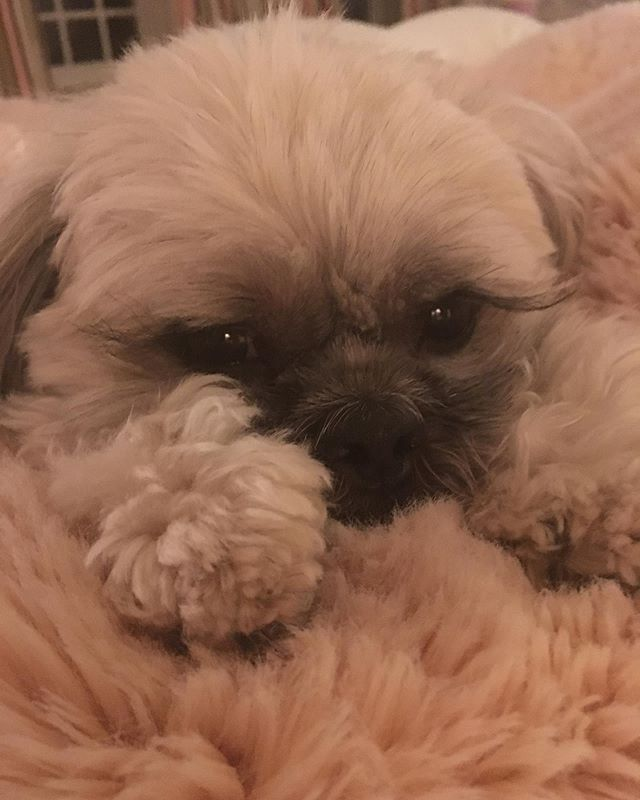 #happyhumpday🐫 from the #gorgeous face of @chewchewtheshihtzu