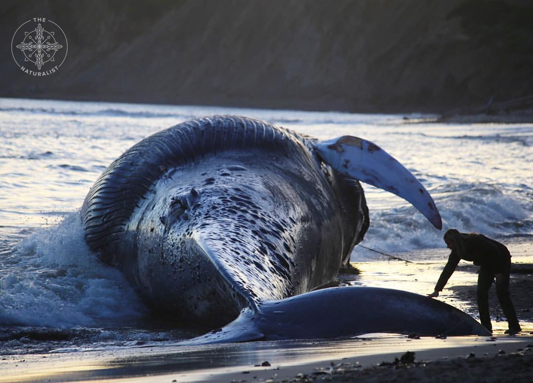 Love and loss at 79 feet - Coming to terms with the fate of Earth's largest creature at the hands of humanity. Read more.