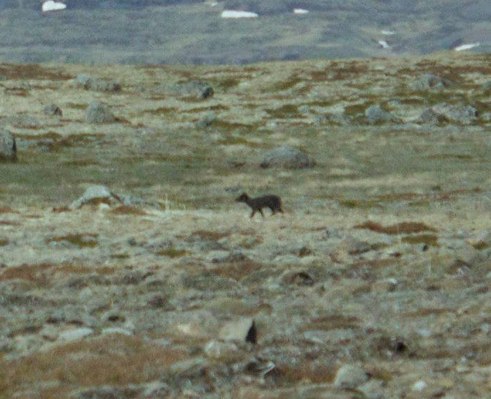 My photography skills know no bounds. (This is an arctic fox)