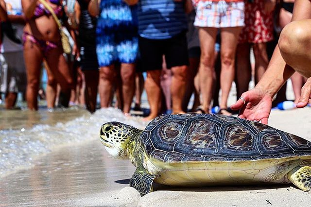 Look at Timmy taking her first steps back into the wild! Sea turtles have been on this planet for 200 million (!!!) years, but every since humans came on the scene, their future has been less certain. Between pollution, ocean plastic, and disease spread, sea turtles are getting attacked from all angles. The @marathonturtlehospital in the Florida Keys works diligently to rescue, rehab, and release sea turtles in need, and today I was lucky enough to take part in the release of Timmy, who was suffering from painful tumors and malnourishment. It was awesome to see all the people who came out to be part of Timmy's release, wildlife lovers of all ages who were emotionally moved by this single success story. Kudos to this awesome organization for keeping our seas full of turtles 🐢❤️ • • • • • • #seaturtle #seaturtles #wildlifeconservation #wildlifetour #protectandconnect #instaturtle #turtles_insta #floridakeys #thefloridakeys #marathonfl #wildlife_vision #wildlifelovers #wildlife_shots #wildlifeonearth #visitflorida #greenseaturtle #turtlesofinstagram #wildliferehab #wildliferehabilitation #herpsofinstagram #floridakeyslife #wildlifetourism #pocket_nature #pocket_animals #seaturtlelove