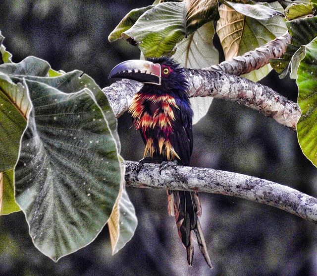 A freshly showered collared aracari is a sight worth seeing! I spotted this one by the pool at @sanignaciobelize • • • • • • #bird_brilliance #collaredaracari #toucan #birdsoftheworld #instabird #visitbelize #unbelizeable #nikonp900 #funnyanimals #pocket_animal #bird_watchers_daily #bird_captures #birds_bees_flowers_n_trees #birding_lounge #bird_lovers #wildlifephotography #wildlifeconservation #wildlife_vision #wildlife_shots #belizetravel #belizeit #wildlifeonearth #wildlife_captures #birdwatching #birding #belizebirds