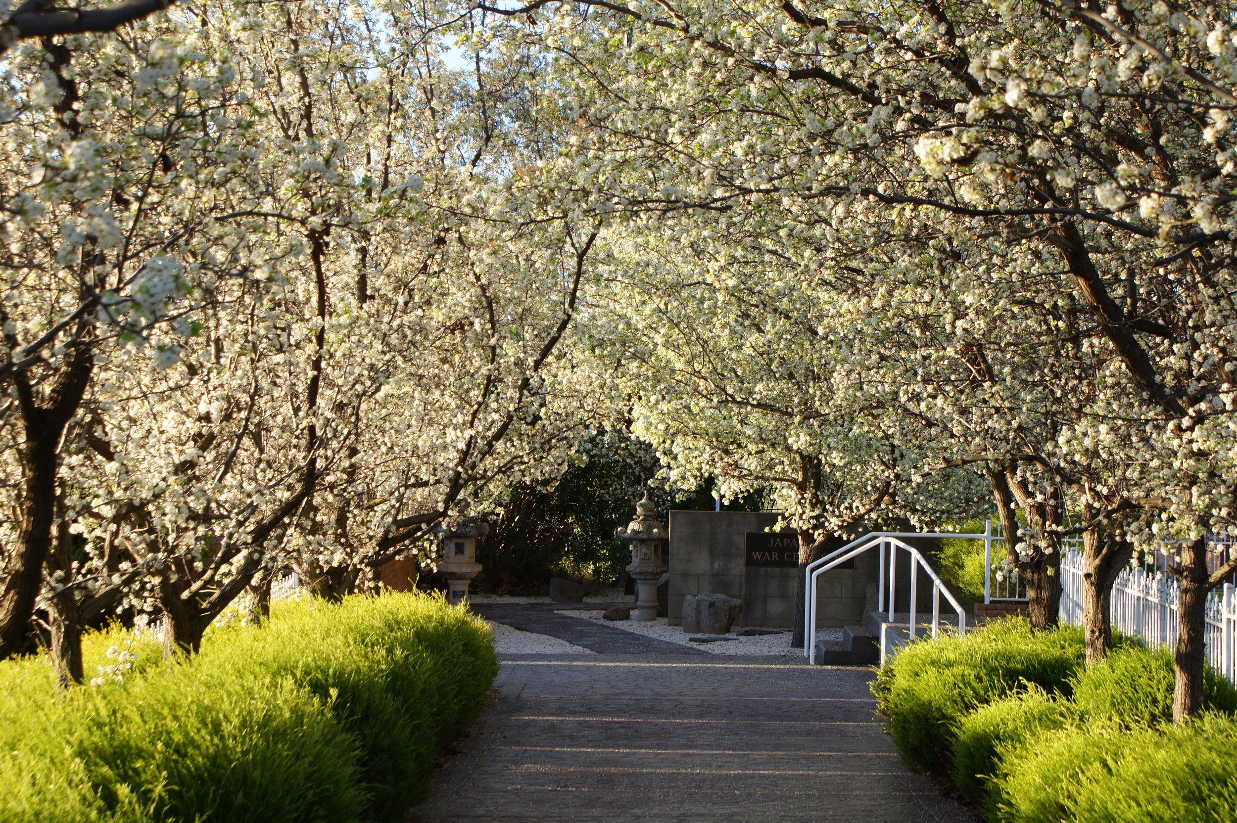 prunus in flower 3.JPG