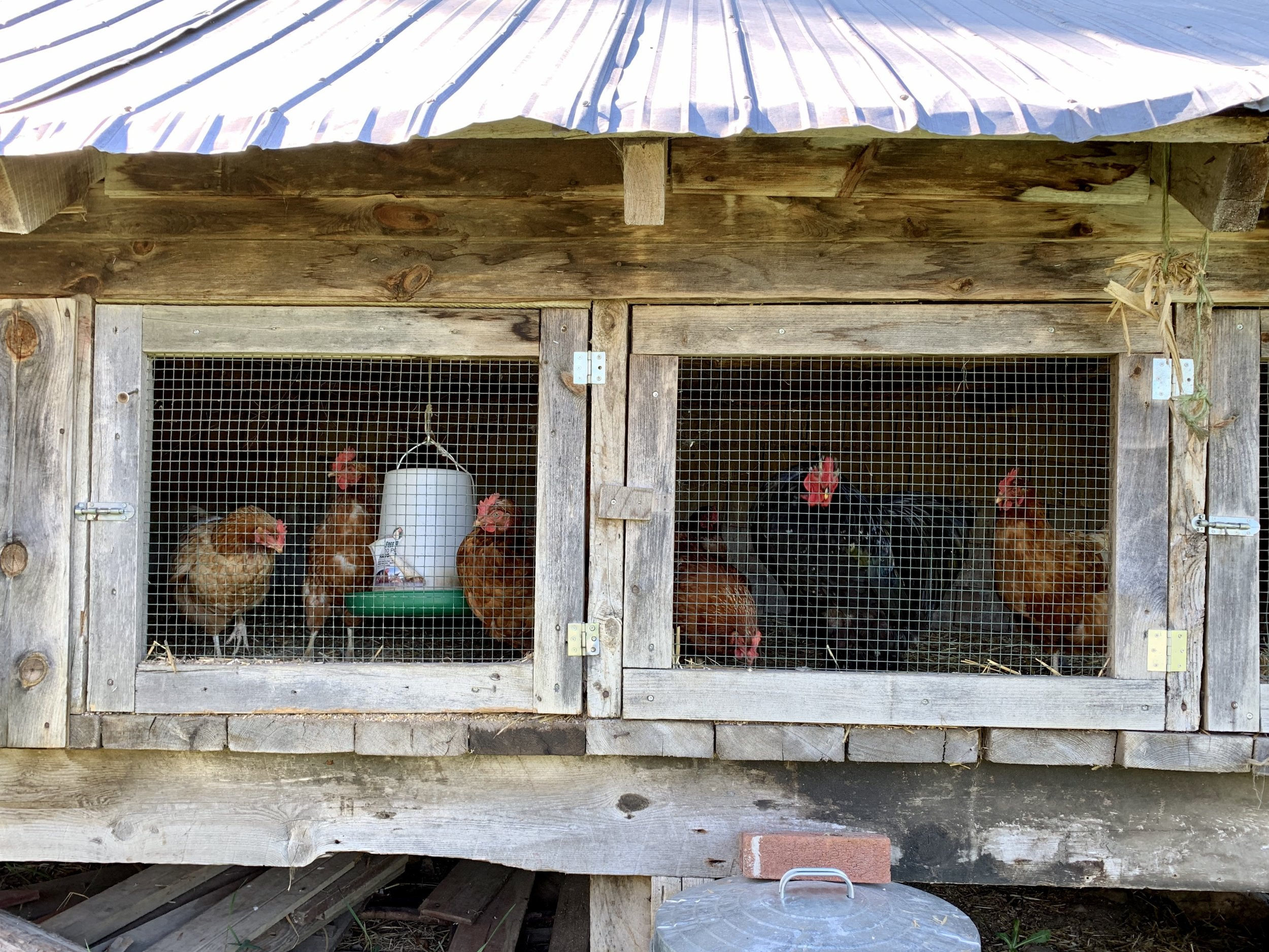 Curious chickens at Ferme et Forêt in Wakefield, Quebec.