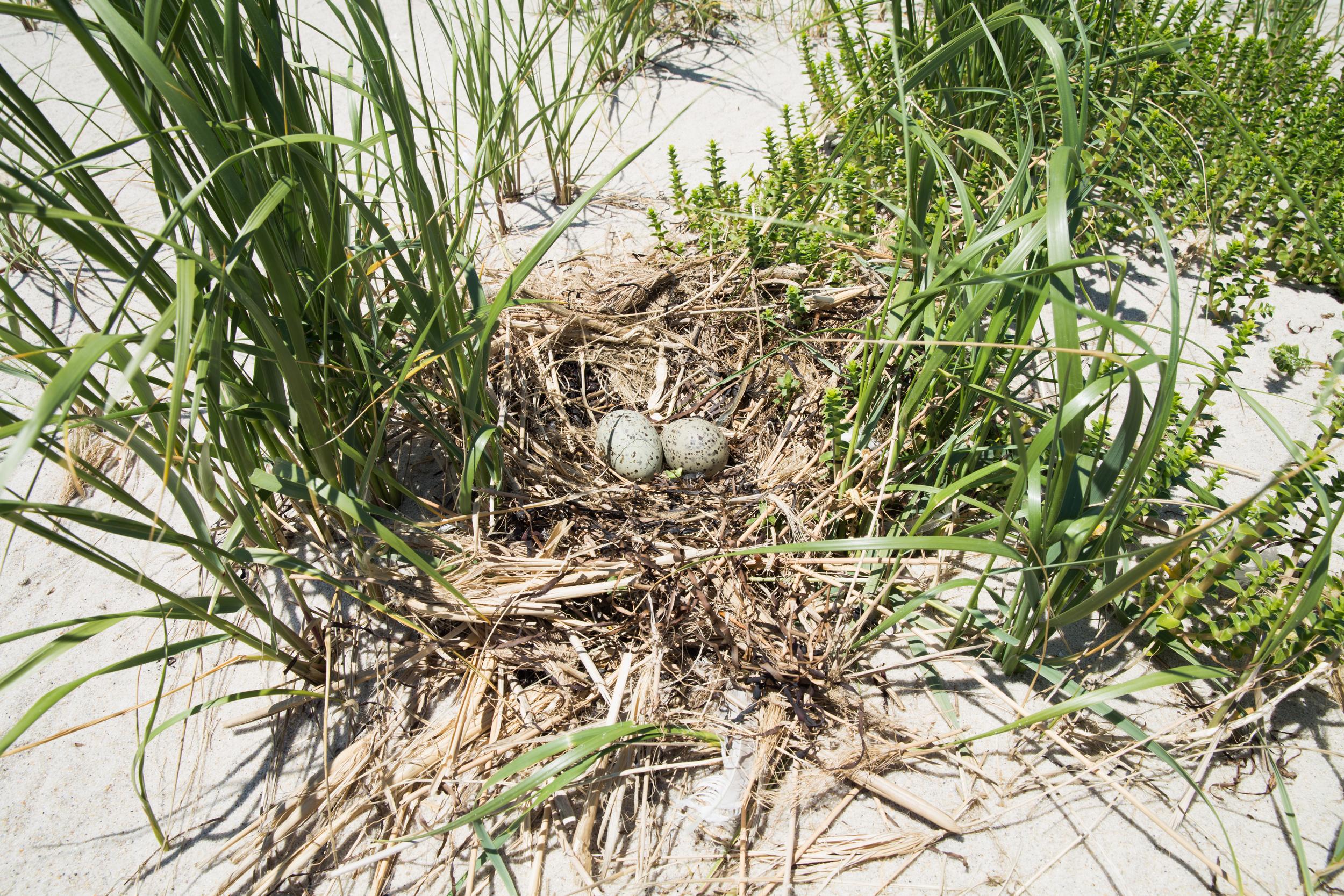 Herring Gull eggs