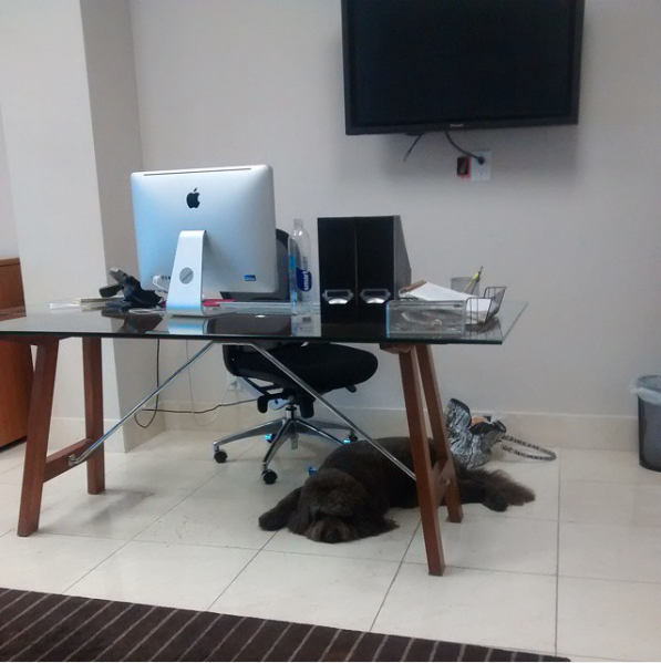 2014 :: West Hollywood ::Cota,the Boss's dog, would often keep me company at my desk and attack all the clients I would have to greet for meetings.