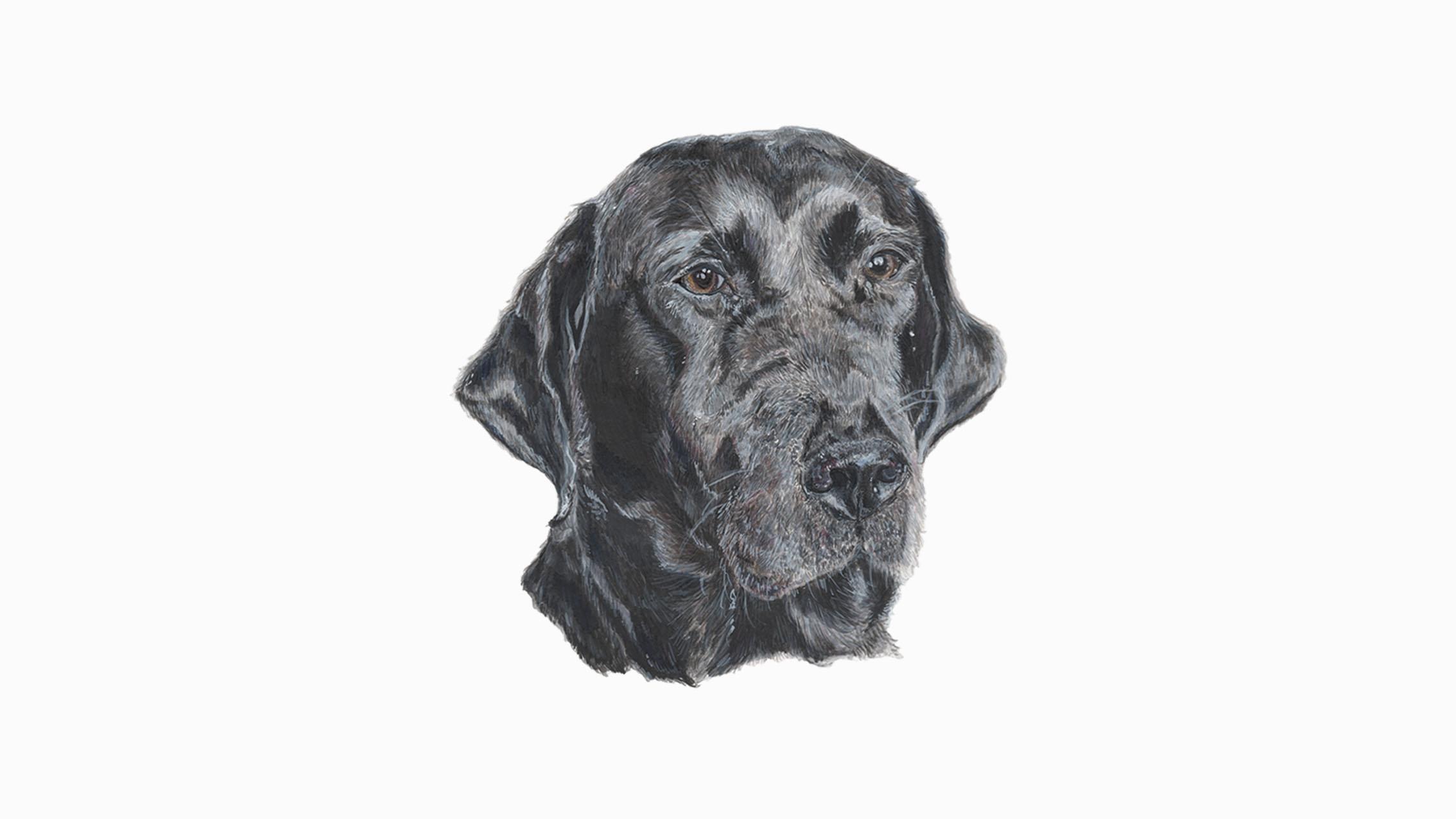 Poppy, the Labrador