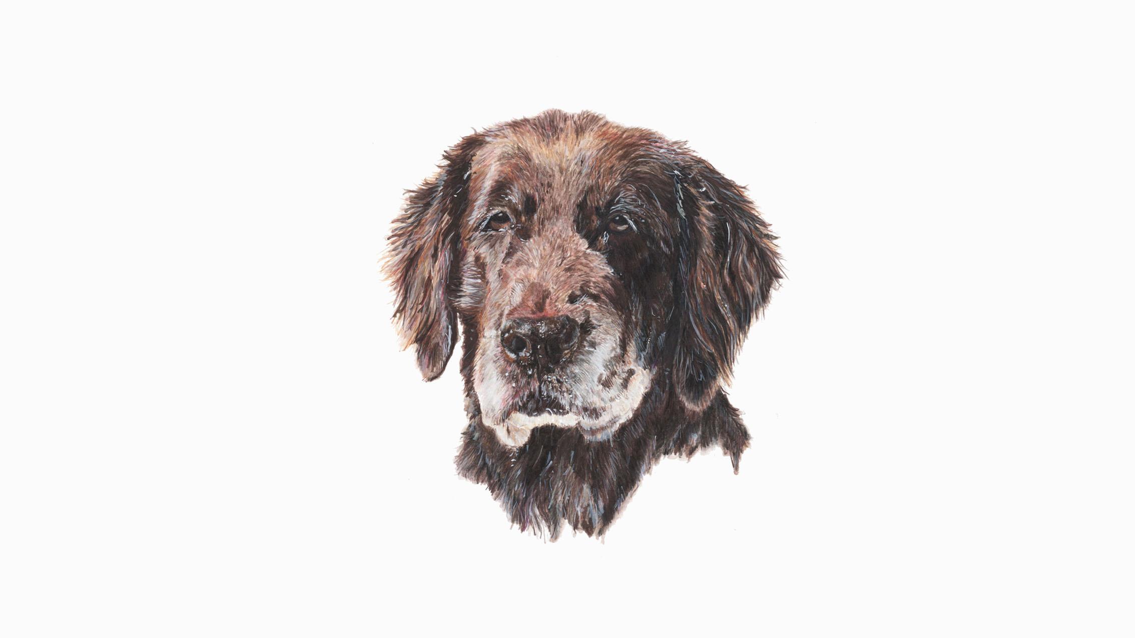 Betty, the Labrador cross St Bernard