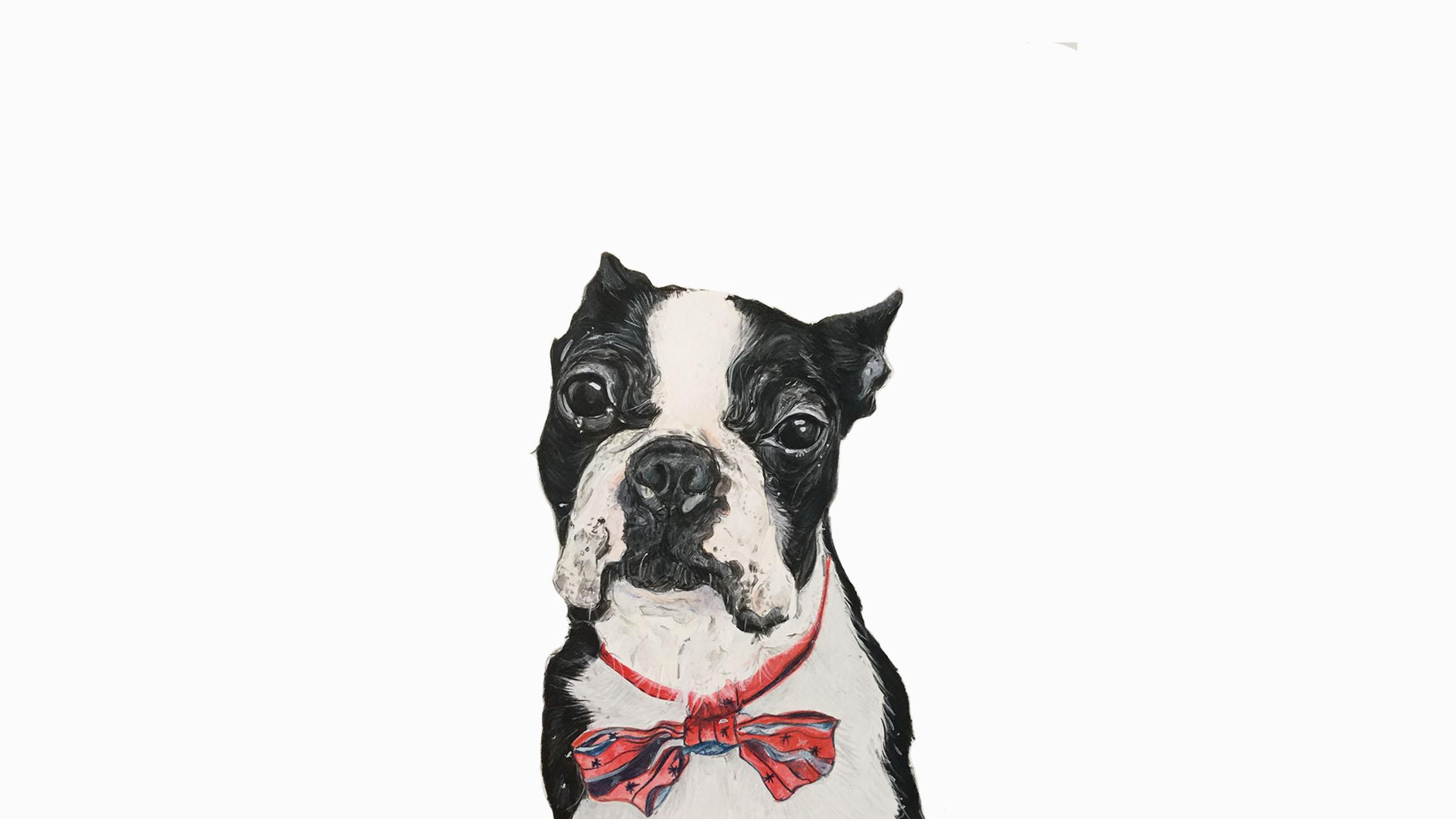 Arni the Boston Terrier