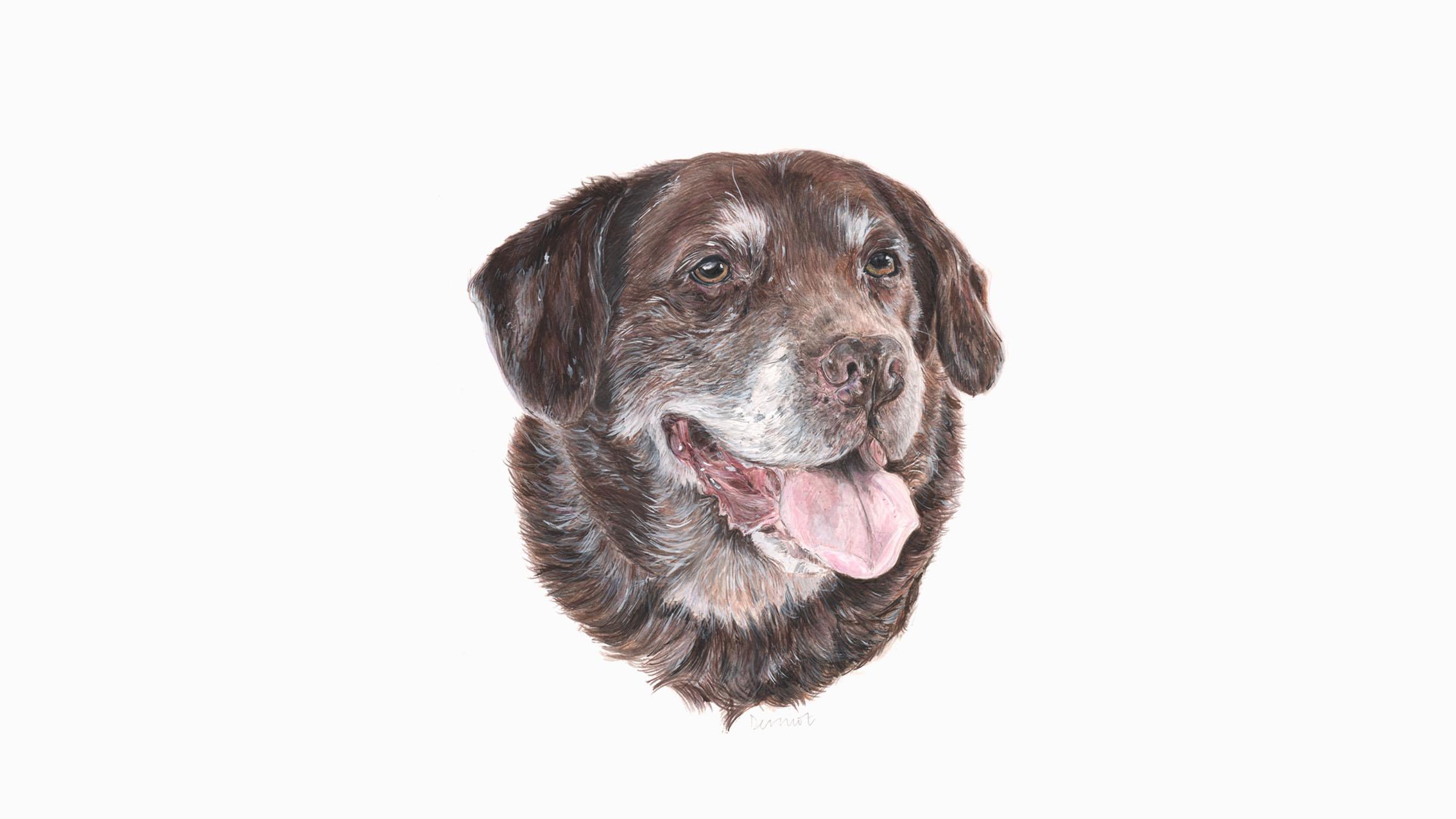 Dermot, the Chocolate Labrador