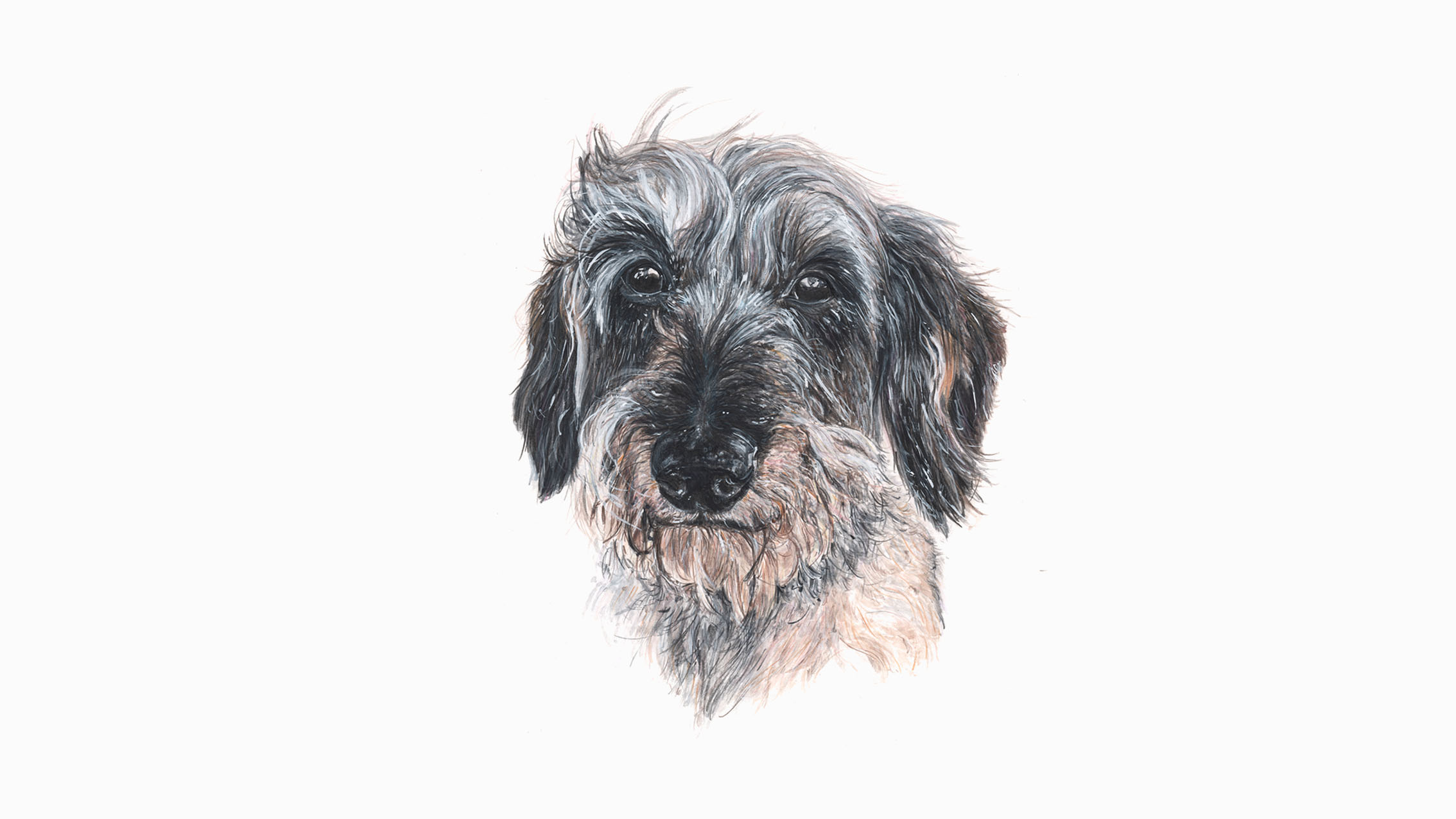 Hendrix, the Wire Haired Miniature Dachshund