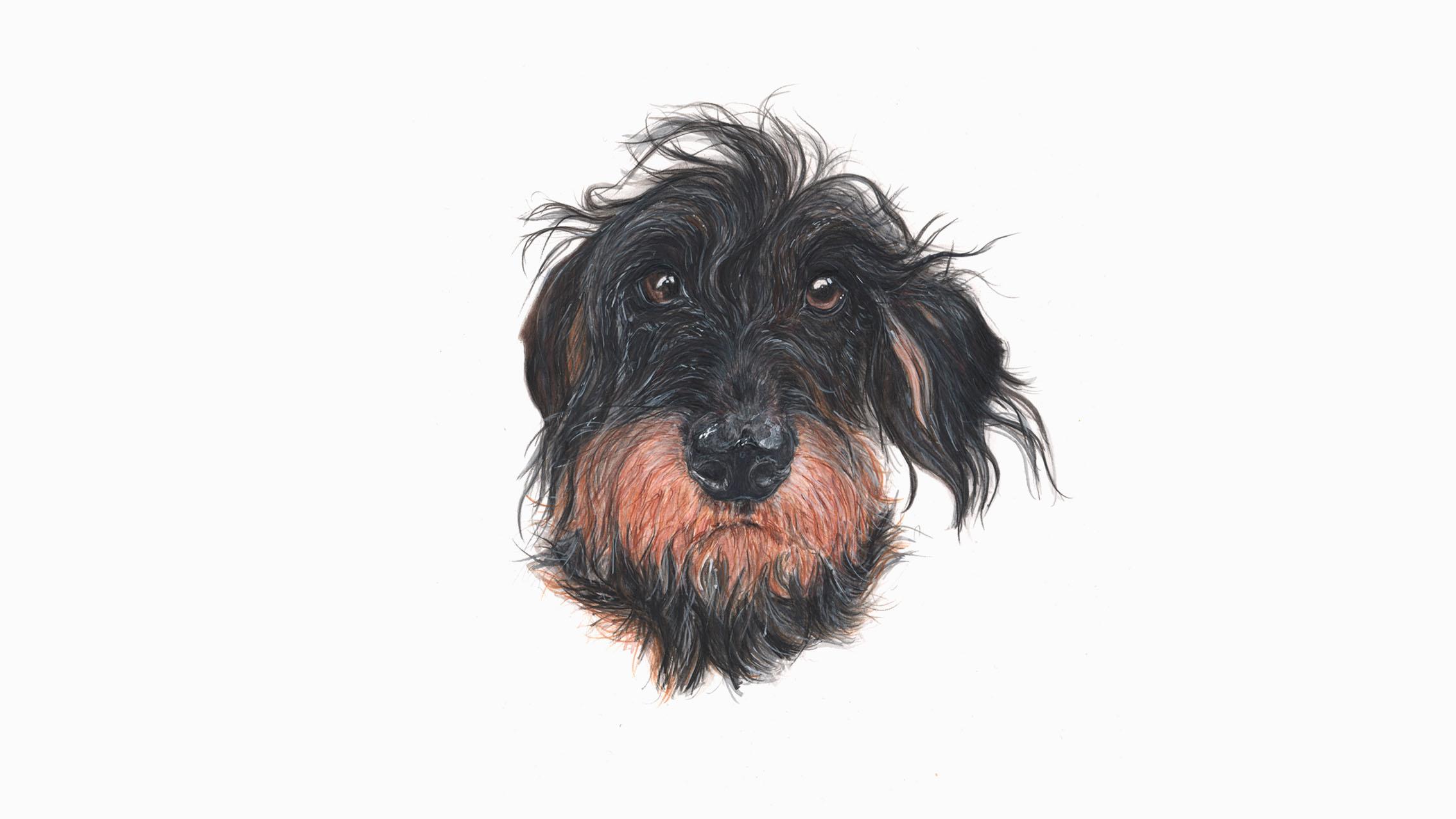 Monty, the Wire Haired Dachshund