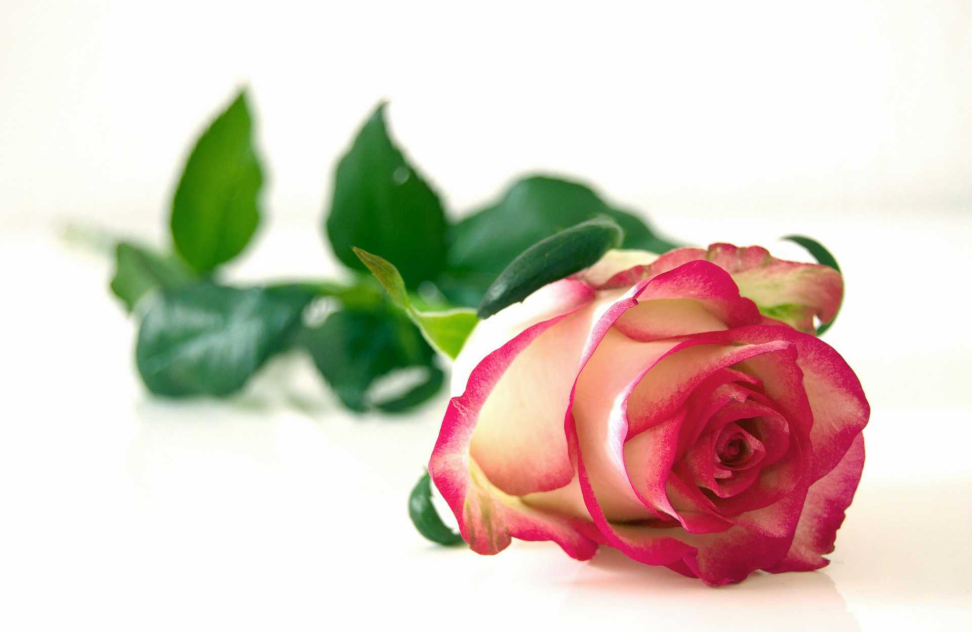 rose-301406_1920.jpg