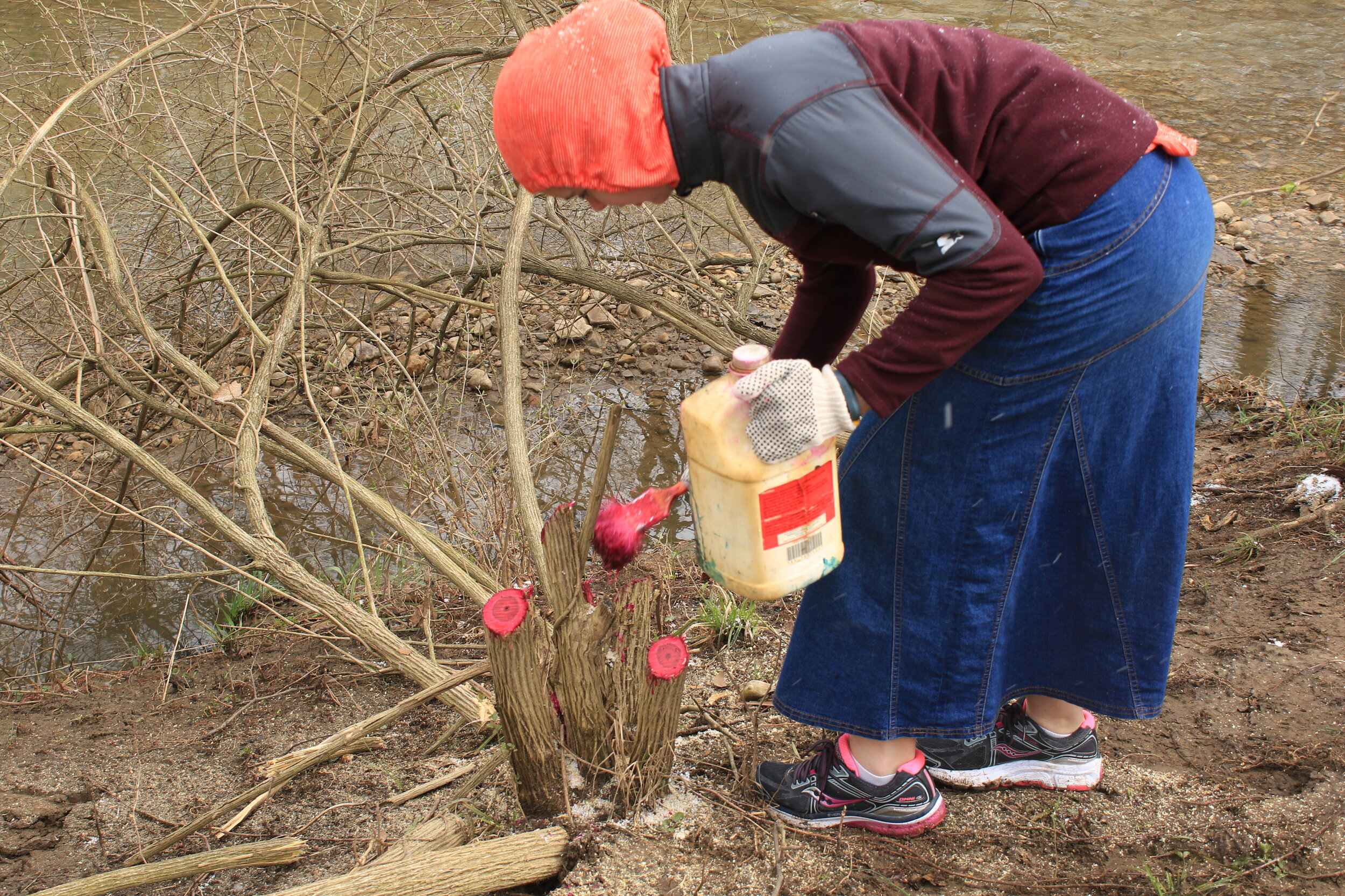 Treating the stumps of invasive Bush Honeysuckle with herbicide.
