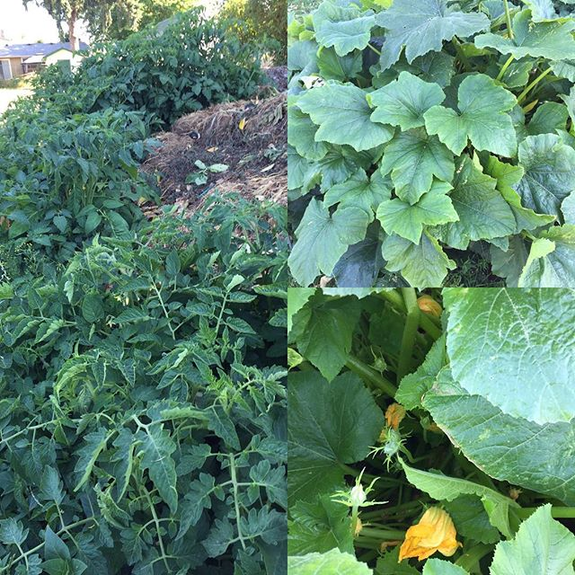 God's abundance comes in surprising places. These luscious plants are growing from the compost pile in our community garden.#abundant#grace#canbyumc