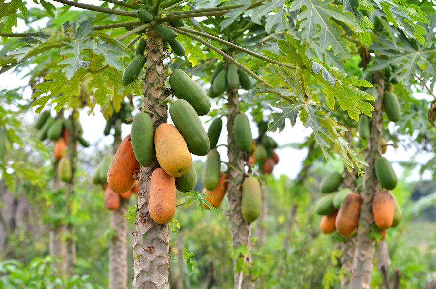 papaya_organic.jpg